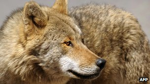 Wolf - file pic